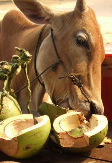 cow eating coconut