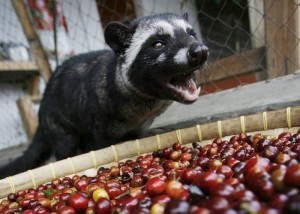 coffee loving civet